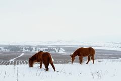 Horses grazing in snow during winter stock image