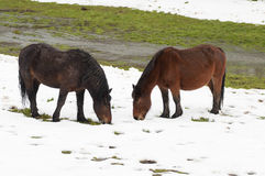 Horses grazing in a snowy field Royalty Free Stock Photos
