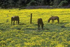 Horses grazing in spring field, Santa Paula, CA royalty free stock images