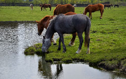 Horses grazing in a spring meadow. Stock Photography