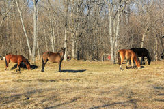 Horses grazing in spring. Young horses grazing in the spring Stock Photos