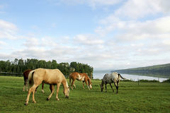 Horses grazing by St. John River, N.B. Royalty Free Stock Image