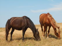 Horses grazing on the steppe. Stock Photo