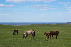 Horses grazing on steppe pastures in Kazakhstan, central Asia Royalty Free Stock Images