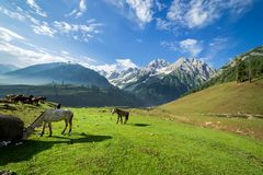 Horses grazing in a summer meadow with green Field Stock Photography