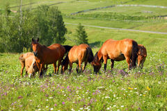 Horses grazing on summer meadow Royalty Free Stock Photo