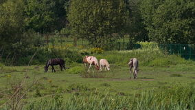 Horses grazing in Sunny weather stock footage