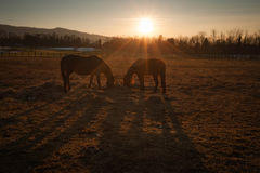Horses grazing at sunset Royalty Free Stock Photo