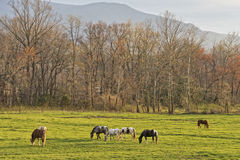 Horses Grazing At Sunset In Cades Cove. Horses Grazing At Sunset At Cades Cove In The Smoky Mountain National Park royalty free stock photography