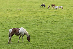 Horses Grazing At Sunset In Cades Cove Stock Photography