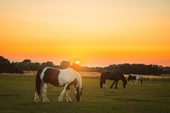 Horses Grazing At Sunset. Horses grazing on common land at sunset royalty free stock image