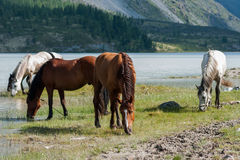Horses grazing. Trekking in the Altai Mountains Royalty Free Stock Photo