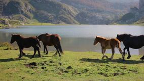 Horses grazing and trotting stock video