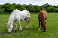 Two horses grazing in a green field Royalty Free Stock Images