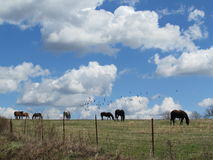 Horses Grazing Under Blue Sky and Clouds Stock Photo