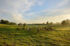 Horses Grazing. In a valley Royalty Free Stock Images