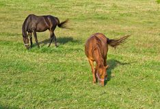 Horses Grazing in Wind. Horses (Equus ferus caballus) grazing in strong wind in Pylesville, Maryland USA royalty free stock photos