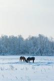 Horses Grazing in Winter Stock Photo