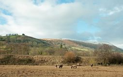Horses grazing in a winter field. A herd of horses grazing in a winter meadow in the Welsh countryside stock photos