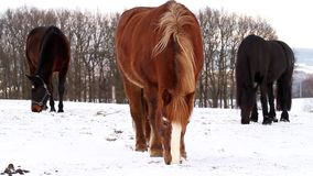 Horses grazing on winter stock footage