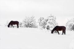 Horses grazing in winter Stock Photo