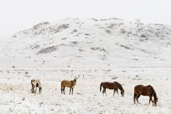 Horses grazing in winter snow colorado rocky mountains
