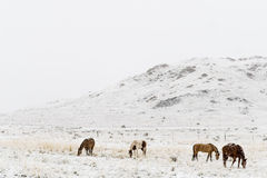 Horses grazing in winter snow colorado rocky mountains. Horses on a ranch farm grazing in the winter snow of the colorado rocky mountains Royalty Free Stock Photos