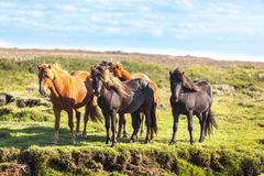 Horses in a green field of grass at Iceland Rural landscape Royalty Free Stock Photos