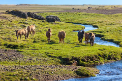 Horses in a green field of grass at Iceland Rural landscape Royalty Free Stock Photography