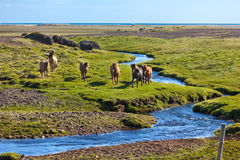 Horses in a green field of grass at Iceland Rural landscape Stock Image