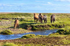 Horses in a green field of grass at Iceland Rural landscape Stock Photography