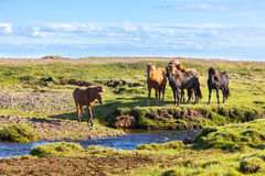 Horses in a green field of grass at Iceland Rural landscape Royalty Free Stock Photo