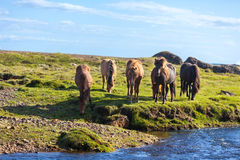 Horses in a green field of grass at Iceland Rural landscape Stock Photo