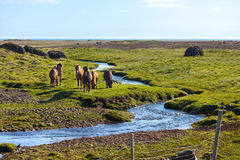 Horses in a green field of grass at Iceland Rural landscape Stock Images