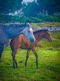 Horses in green field. Horse with young foal in green field royalty free stock photos