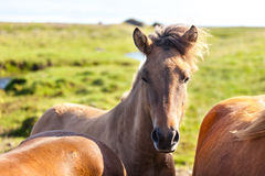 Horses in a green field of Iceland Stock Image