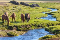 Horses in a green field of Iceland Stock Photos