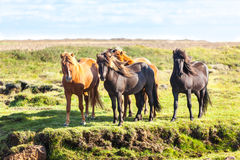 Horses in a green field of Iceland Stock Photo
