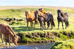 Horses in a green field of Iceland Royalty Free Stock Photography