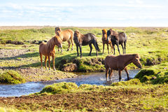 Horses in a green field of Iceland Royalty Free Stock Photo