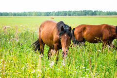 Horses on a green field Stock Photography