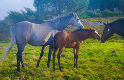 Horses in green field. Horses with young foal in green field royalty free stock image