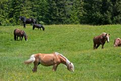 Horses on green grass Stock Photography