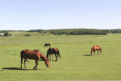 Horses on a green grass meadow Royalty Free Stock Photos