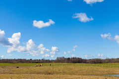 Horses on Green Grassy Field under Bright Blue Sky Royalty Free Stock Image
