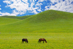 Horses on green meadow Royalty Free Stock Images