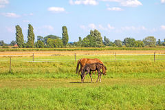 Horses on green meadow Royalty Free Stock Photos