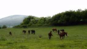 Horses On Green Meadow stock video footage