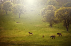 Horses on green meadow in spring Stock Images