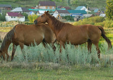 The horses Stock Image